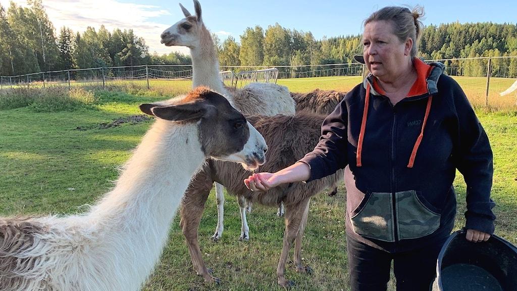 Anneli Karlsson föder upp lamadjur på gården för att skydda tamboskap mot varg.