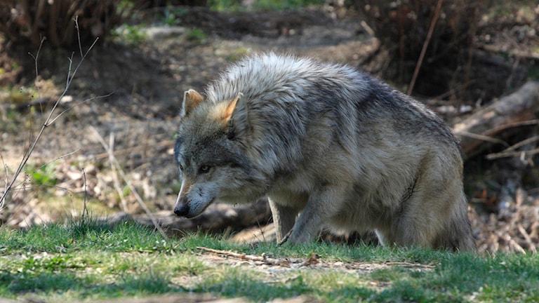 Fyra hundar har dödats i vargangrepp under året. Foto: Crypto Wolf/Flickr/CC BY