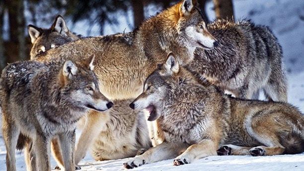 En familjegrupp med fluffiga vargar i snön.