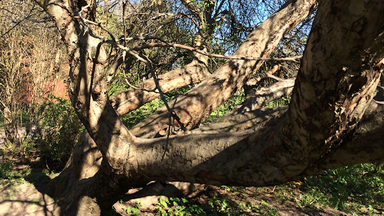 Äppelträdet i Sofiaparken i Gävle kan vara Sveriges största enligt experter. Foto: Christian Ploog/SR Gävleborg.