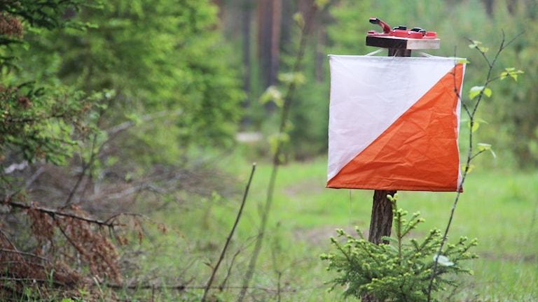 Här i skogarna kring byn Gammelhomna kommer det vimla av orienterare i helgen. Foto: Magnus Hansson/Sveriges Radio