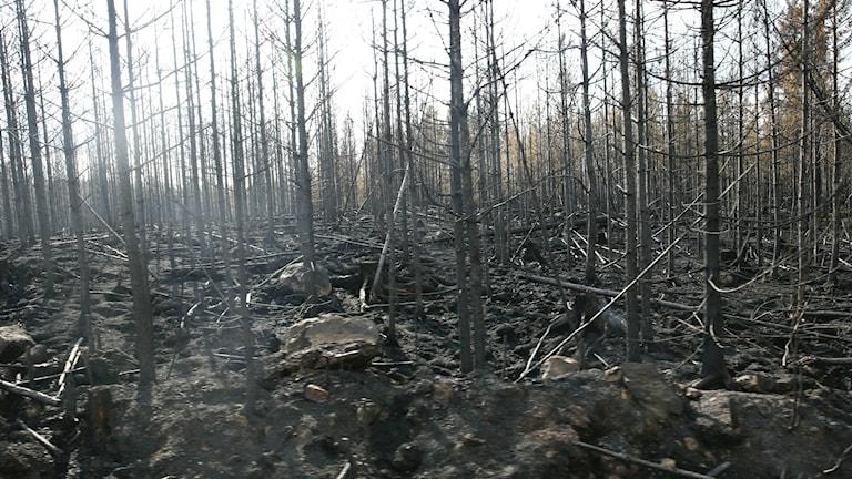Skogsbranden i Västmanland är den största i modern tid i Sverige. Foto: TT