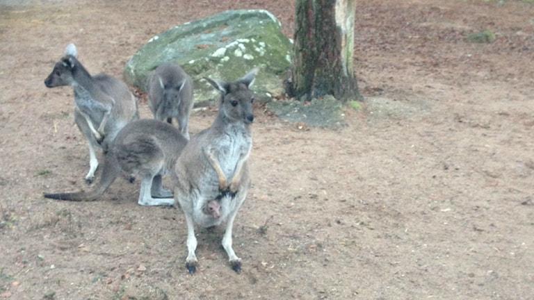 Kängurur, Furuviksparken