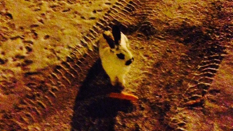 En av kaninerna som bor på parkeringen utanför Gevalia. Foto: Privat
