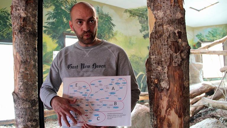 Daniel Hansson, djurchef på Furuviksparken, visar schemat kring hur schimpanser ska flyttas mellan olika djurparker.