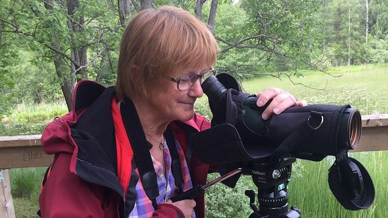Cecilia Olsson, Gävle fågelklubb, spanar efter en rörhöna