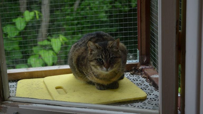 """Didi är 6 år och har nyligen anlänt till katthemmet. Hon är ett så kallat """"polisärende"""" och kan därmed ha haft ett tufft liv innan omplaceringen. Foto: Linnéa Forss/Sveriges Radio"""