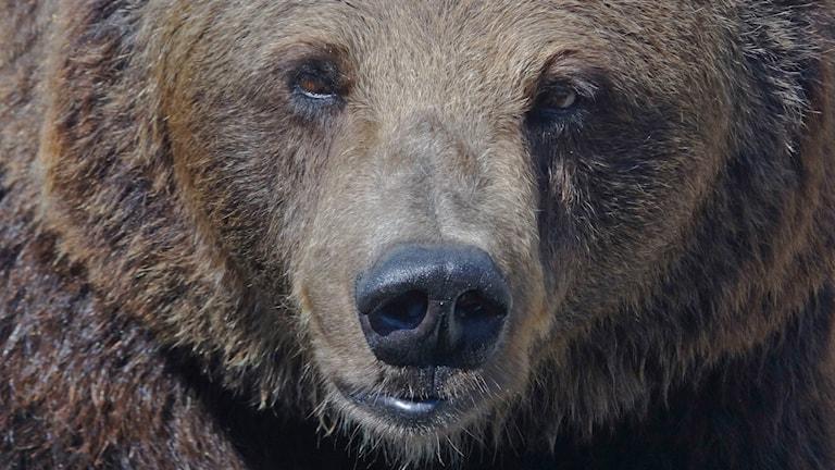 Totalt 37 björnar får fällas mellan 21 augusti och 15 oktober. Foto: TT.