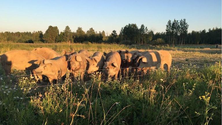 Grisarna i Mörtebo. Foto:Emelie Eriksson