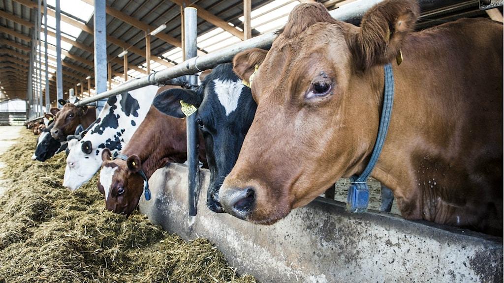 Mindre strängt för djurskyddet.: Lars Pehrson/SvD/TT