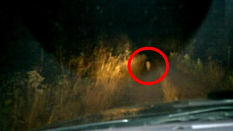 Tommy Lingblom fotade en av vargarna från sin bil. Foto: Tommy Lingblom