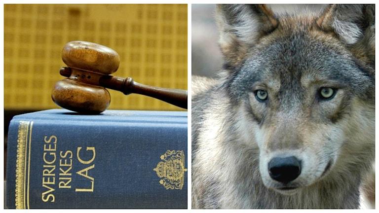 En lagbok och en varg. Foto: TT