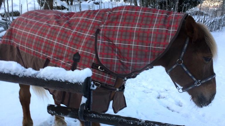 Gävle kommuns häst Berta. Foto: Lasse Nilsson