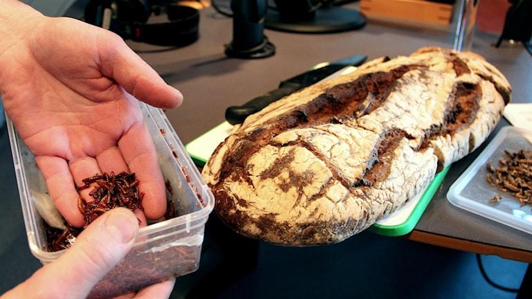 Insekter och larver i bröd är framtidens mat. Foto: Emma Åhlström/Sveriges Radio