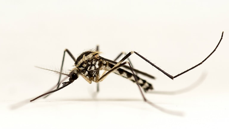 Myggarten Aedes geniculatus, den silvertecknade trädhålsmyggan.