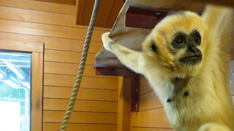 Gibbonapan Chelawak som är ny i Furuviksparken.