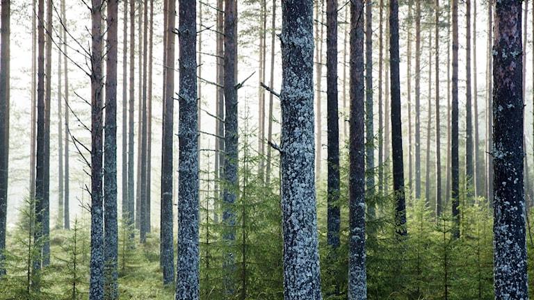 Skog från Hälsingland omvandlas till el och värme i Stockholm.