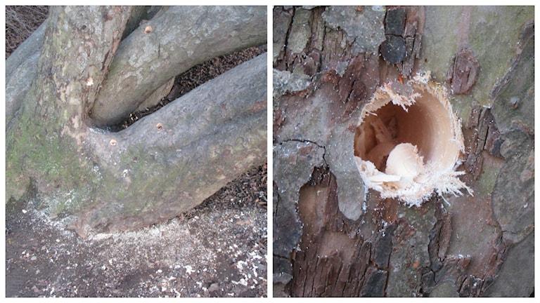 Någon har borrat fyra hål i äppelträdet.