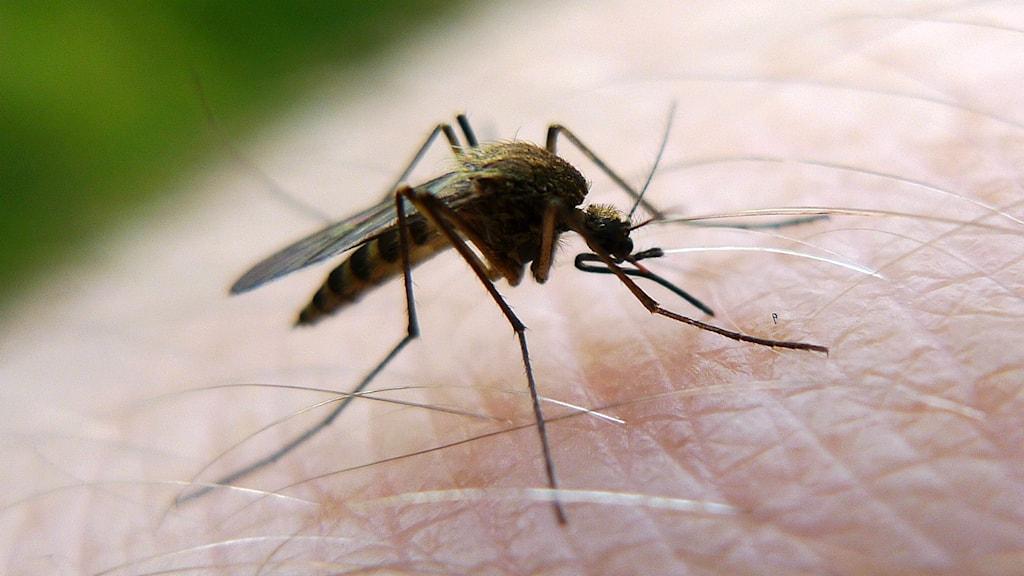 Det finns inte tillräckliga bevis för att dagens myggbekämpning har positiv effekt.