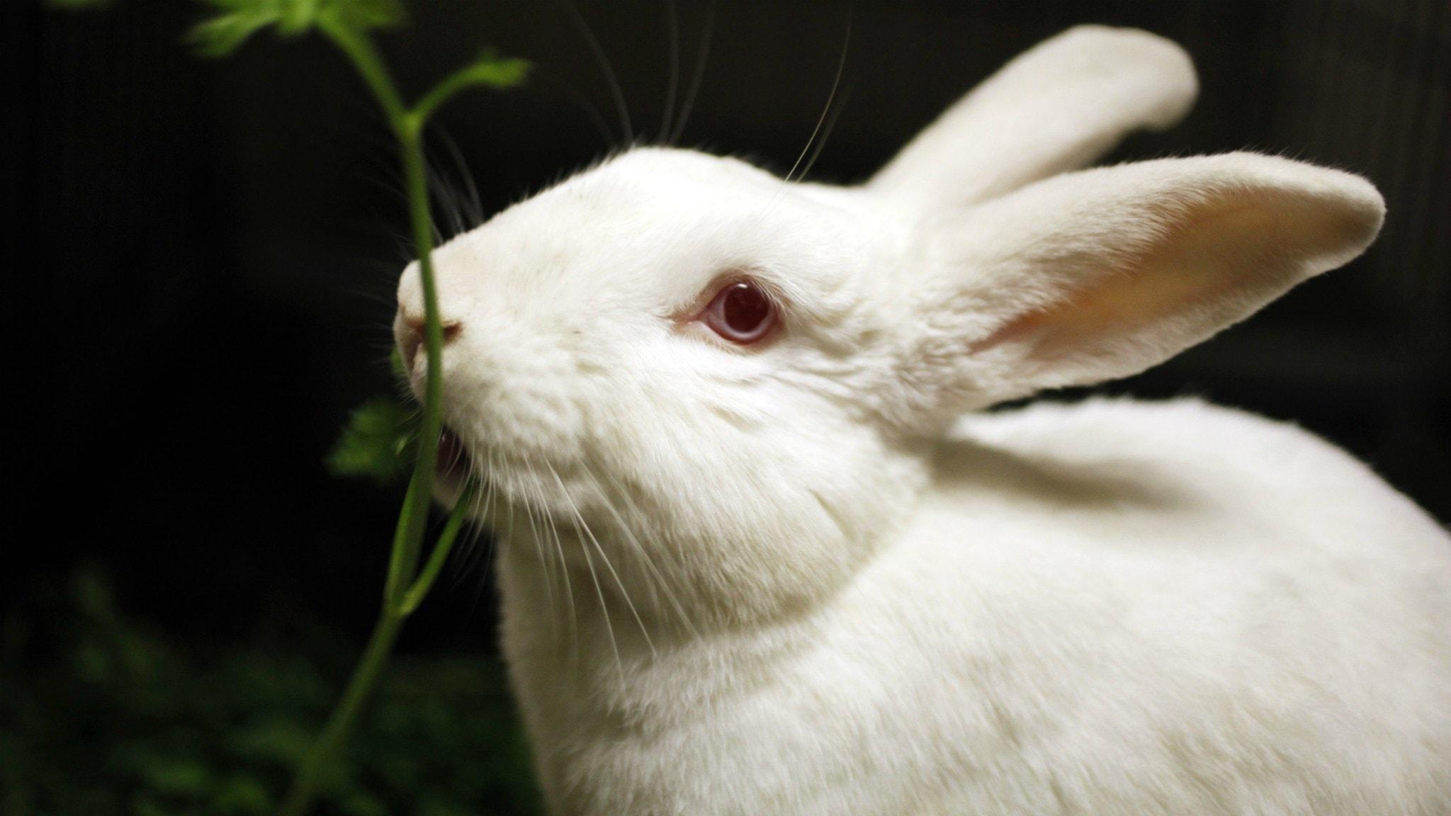 Sjukdomen sprids från myggor och knott till kaniner.