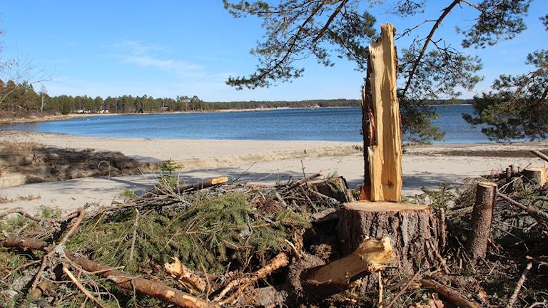 En bild föreställande ett avsågat träd i förgrunden och en strand i bakgrunden
