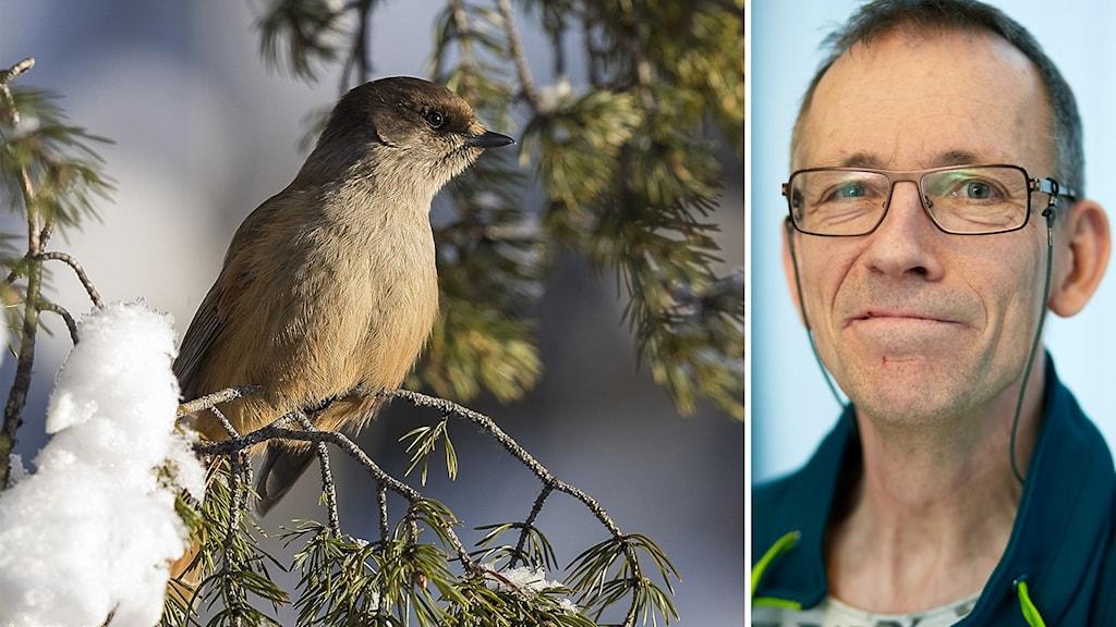 Fågel på en snöig tall. Naturvårdschef Peter Bergman.