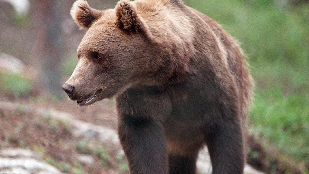 björnspillning