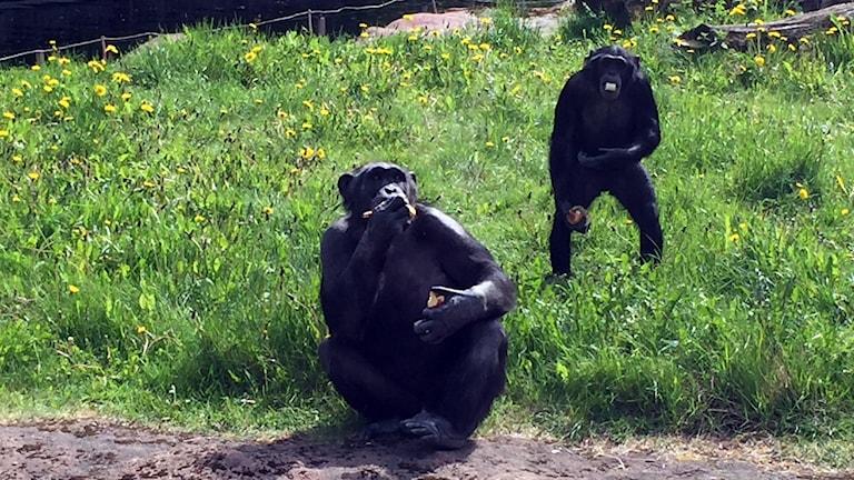 Schimpansen Santino i Furuvik.
