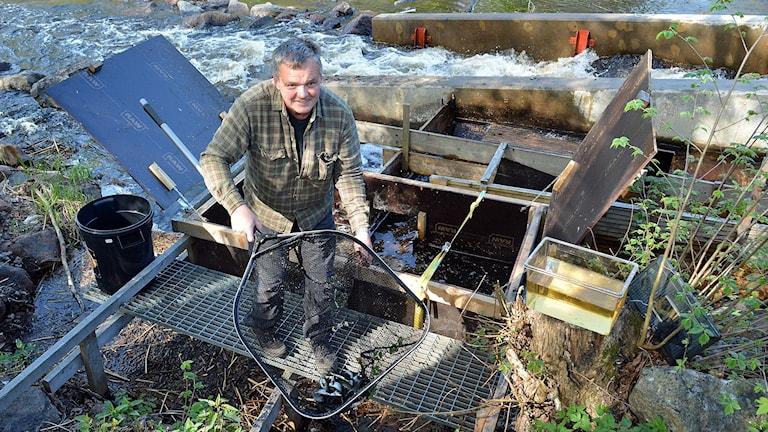 Fiskevårdare Bernt Moberg håvar upp laxungar vid Laxtrappan i Strömsbro