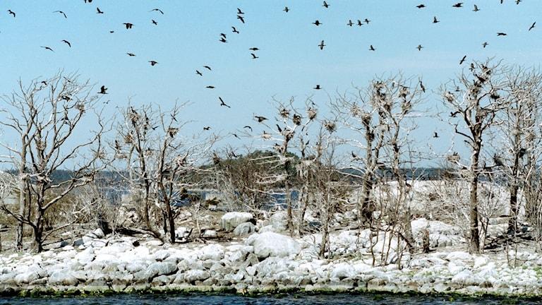 En ö med skarvbon i träden som är helt kala och täckta med skarvbajs