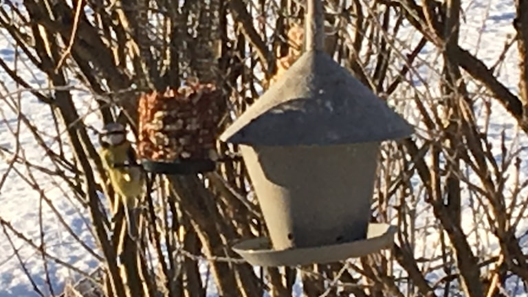 Sista helgen i januari är det dags att räkna småfåglarna vid fågelmatarställen i landet.