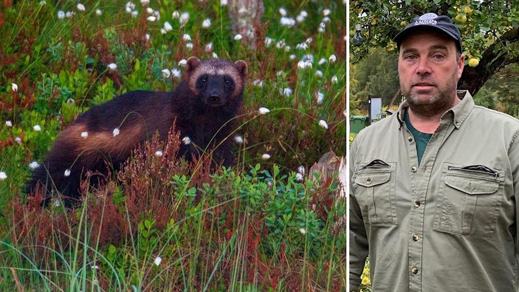 Marco Hassoldt har sett två järvungar i Ängra-skogen.