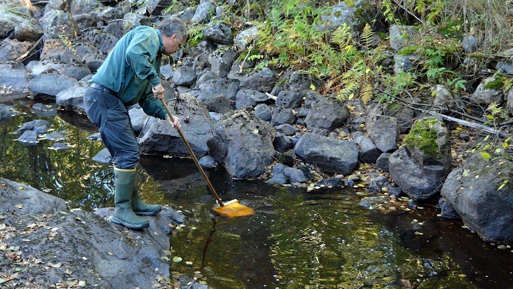 Fiskevårdare Bernt Moberg i Gävle undersöker bottenfaunan i Trödjeån