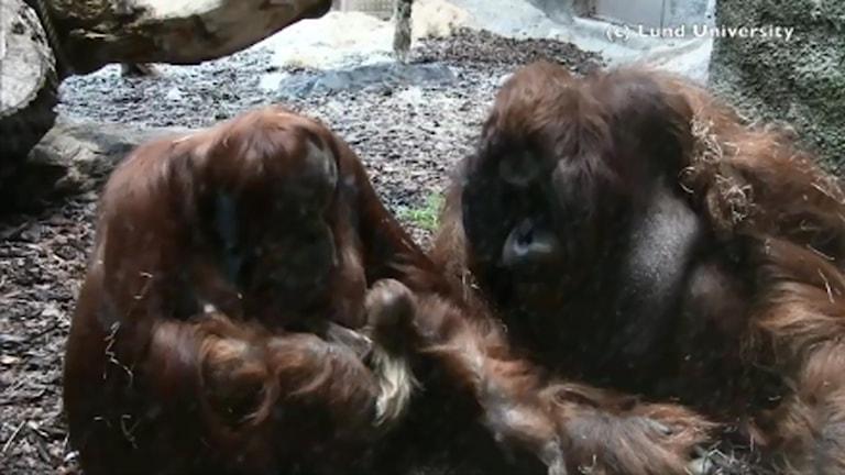 Orangutangföräldrarna Dunja och Naong gosar med sin bebis.