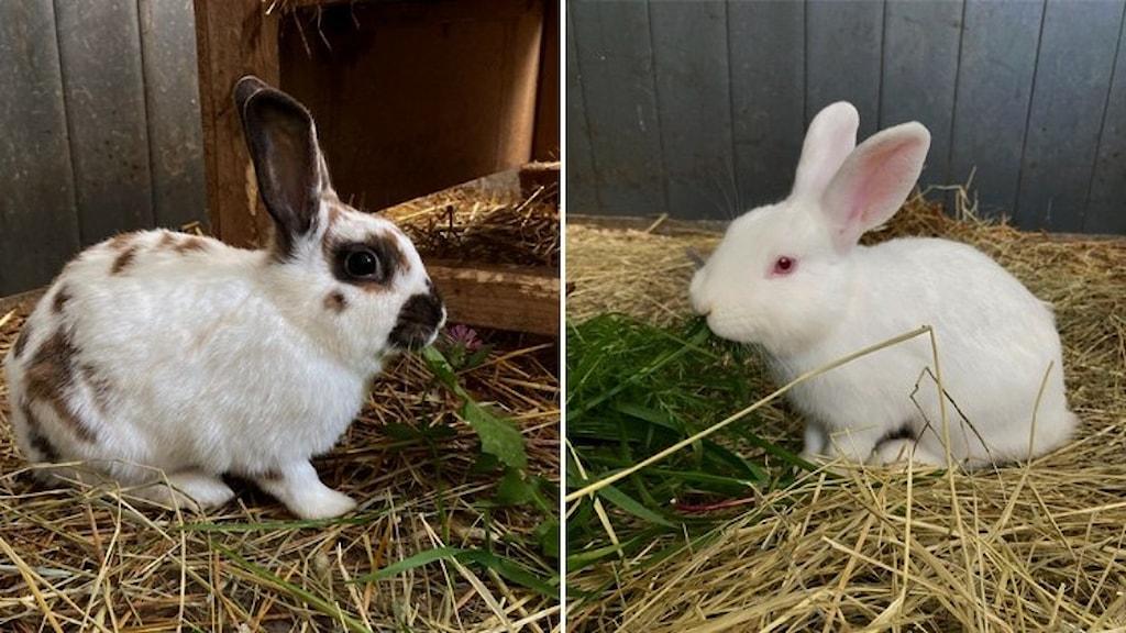 Två kaniner.