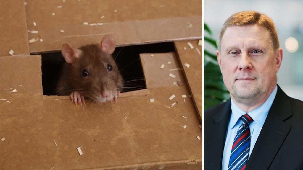 Vänster en råtta och höger en man.