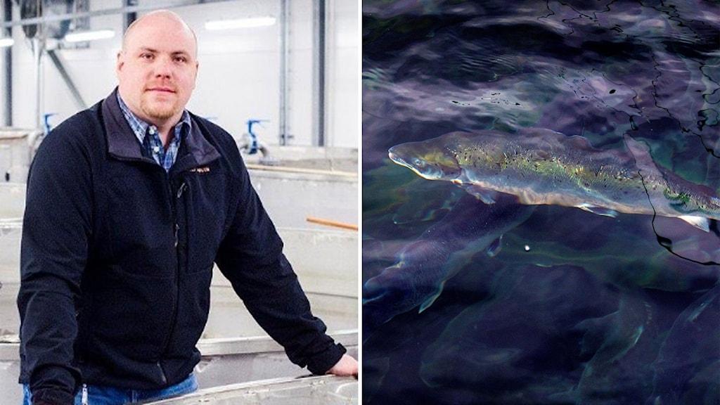 En bild på Mikael Lidström som står vid en stor fisktank, en bild på en lax i en laxodling.