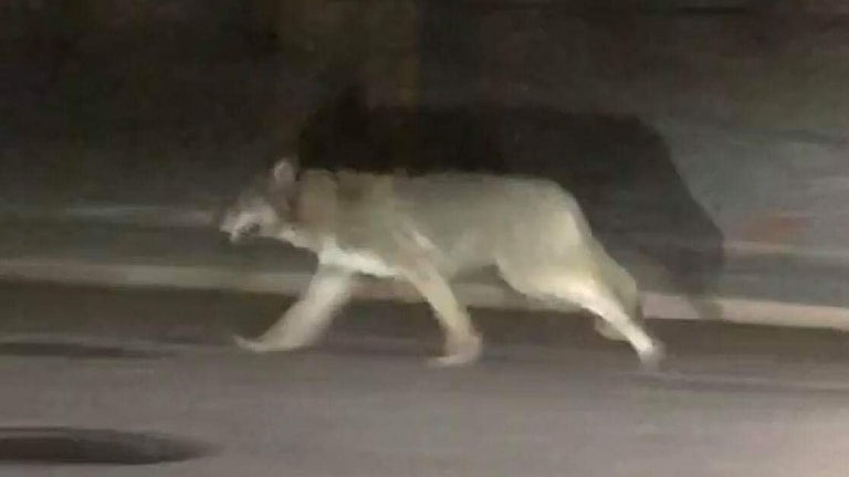 Vargen som syntes i Sandviken filmades och spreds på sociala medier.