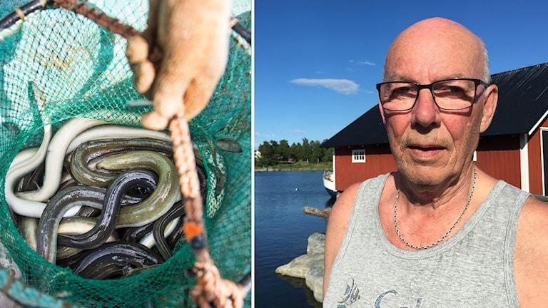 Ålar i ett nät och en fiskare